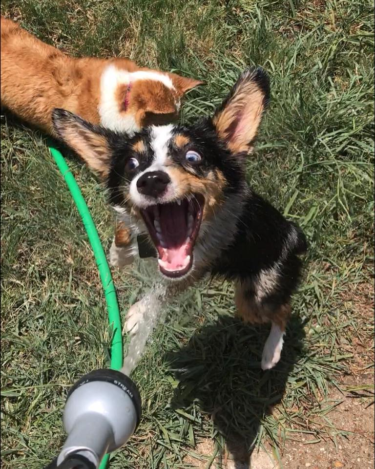 Corgi doing things crazy