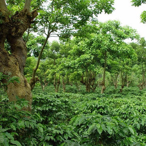shade grown coffee plantation