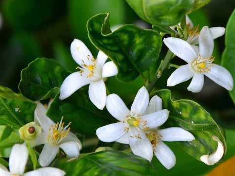 Benefits of neroli essential oil blossom valley botanicals extracted from the flower of the seville orange tree neroli has shown to have regenerating benefits for all skin types mightylinksfo