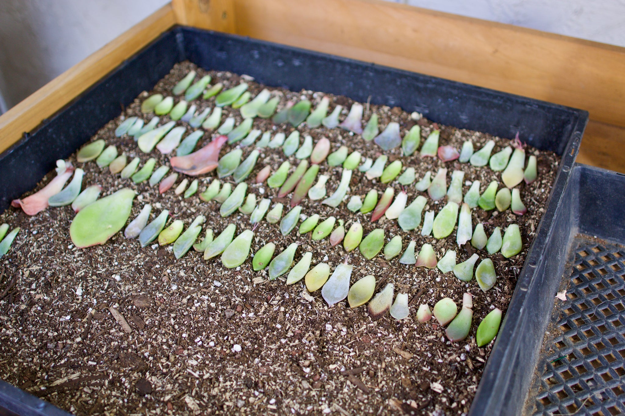 propagating succulents DIY by succy crafts