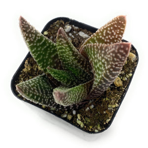 Gasterhaworthia 'Royal Highness' - for sale by Succy Crafts