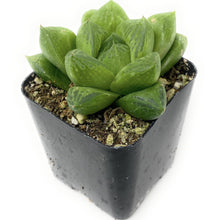 Load image into Gallery viewer, Haworthia Cuspidata 'Star Window Plant' - for sale by Succy Crafts