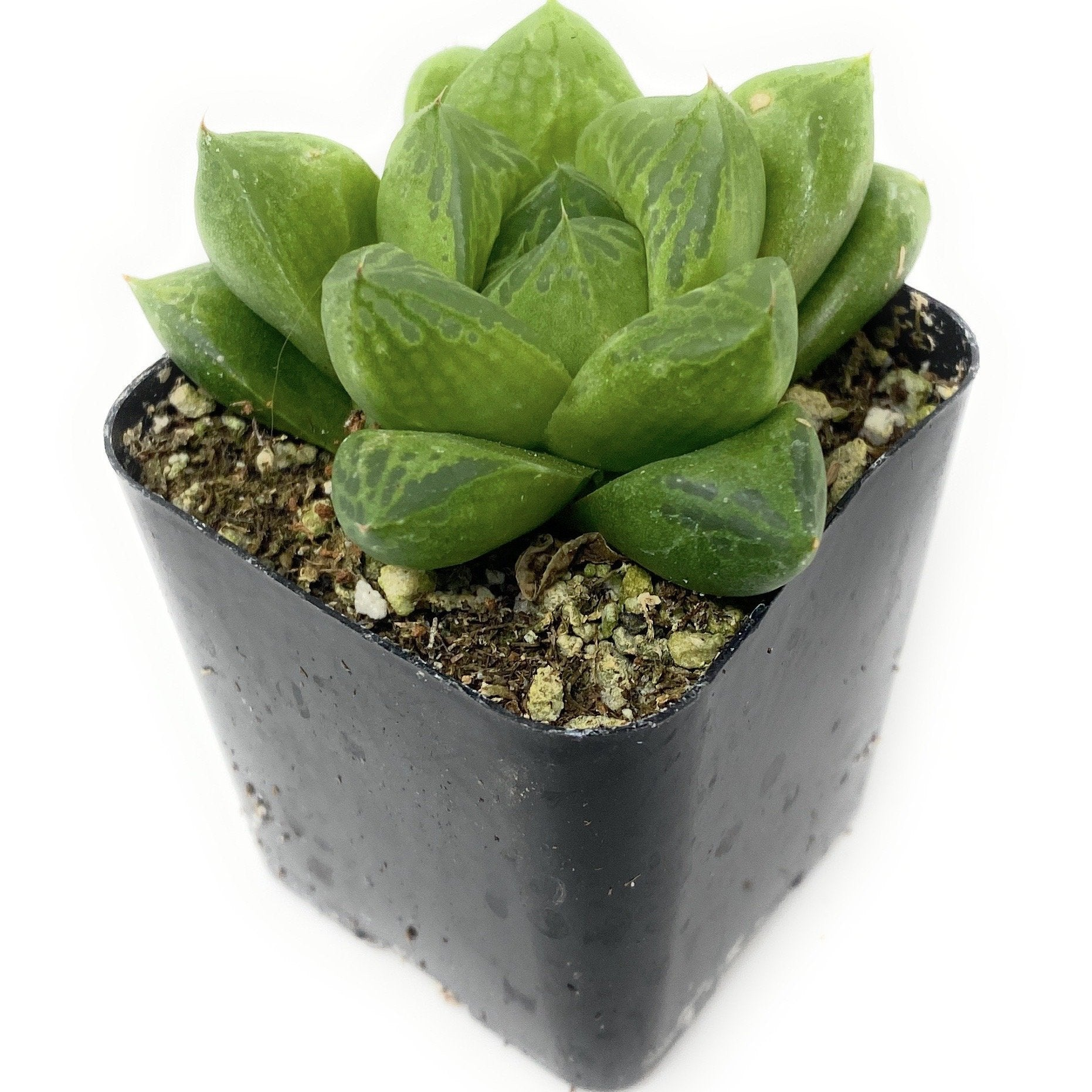 Haworthia Star Window Plant