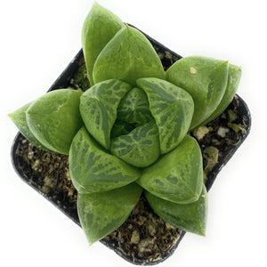 Haworthia Cuspidata 'Star Window Plant' - for sale by Succy Crafts