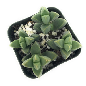 Ice Plant *Rare* - Plant w/ Pot - for sale by Succy Crafts