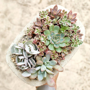 Kalanchoe Flower Dust Plant *Rare* - for sale by Succy Crafts