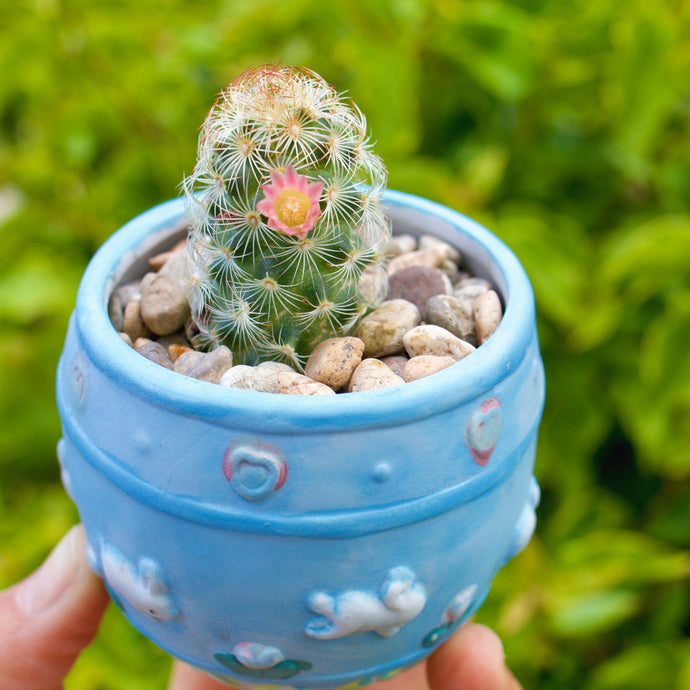 Lady-Finger Cactus - for sale by Succy Crafts
