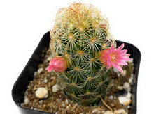 Load image into Gallery viewer, Mammillaria Bocasana 'Powder Puff Cactus' - for sale by Succy Crafts