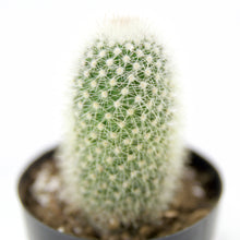 "Load image into Gallery viewer, Mammillaria Pilcayensis ""Bristle Brush"" - for sale by Succy Crafts"
