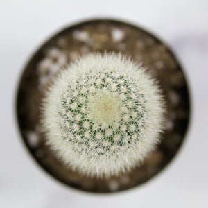 "Mammillaria Pilcayensis ""Bristle Brush"" - for sale by Succy Crafts"
