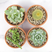 Load image into Gallery viewer, Mystery Succulents Bundle Pack - for sale by Succy Crafts