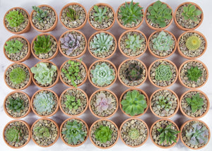 Mystery Succulents Bundle Pack - for sale by Succy Crafts
