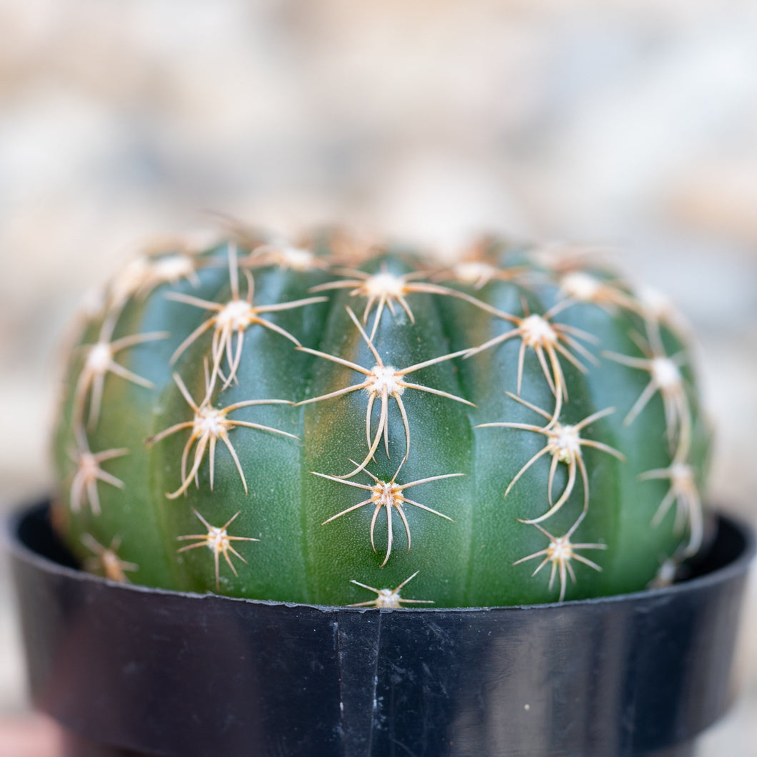 Notocactus Uebelmannianus - for sale by Succy Crafts