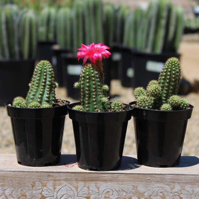 Peanut Cactus - for sale by Succy Crafts