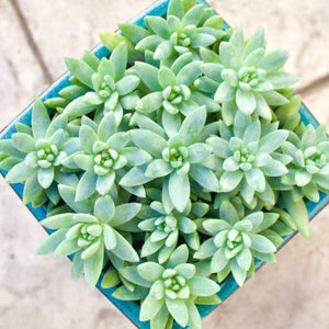 Sedeveria 'Harry Butterfeild' Super Donkey Tail - for sale by Succy Crafts