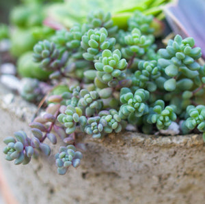 Sedum Dasyphyllum 'Minor' - for sale by Succy Crafts