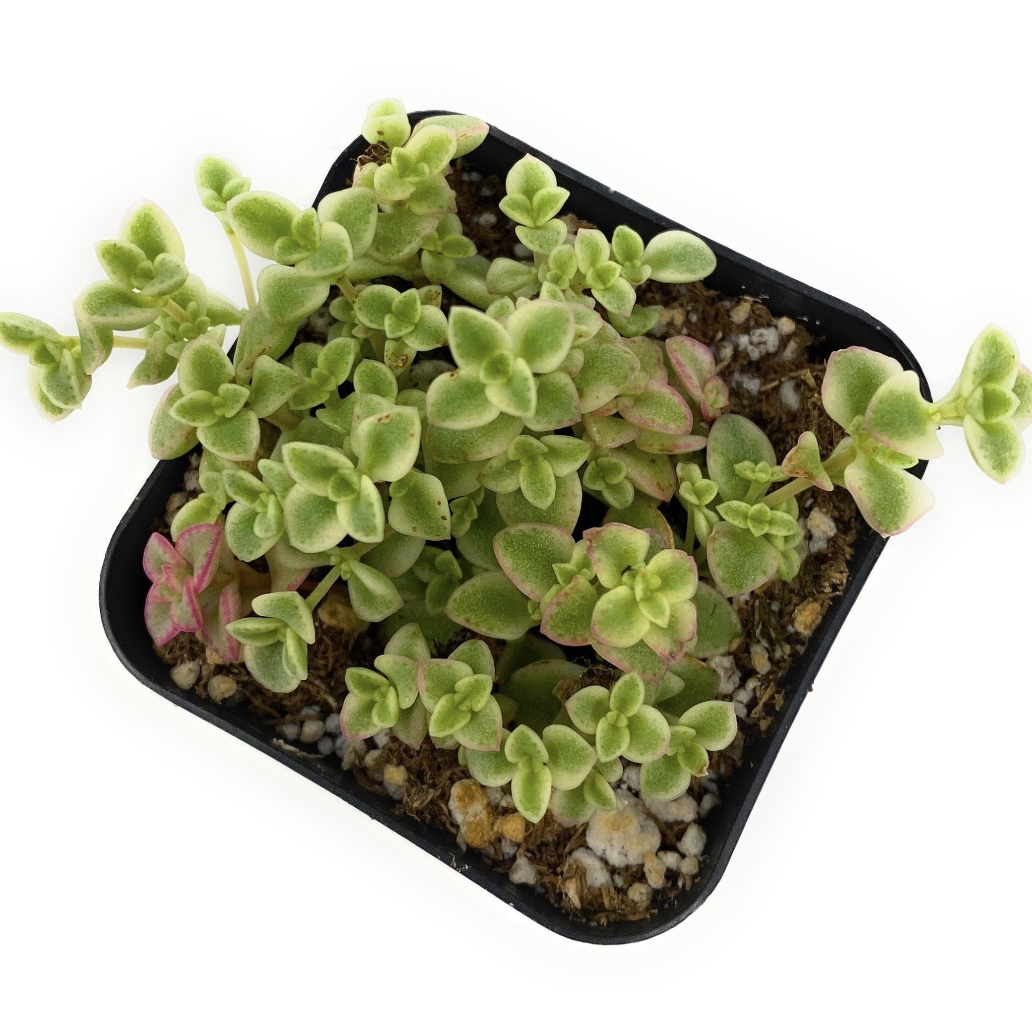 Sedum Little Missy Succulent Plants From Succy Crafts