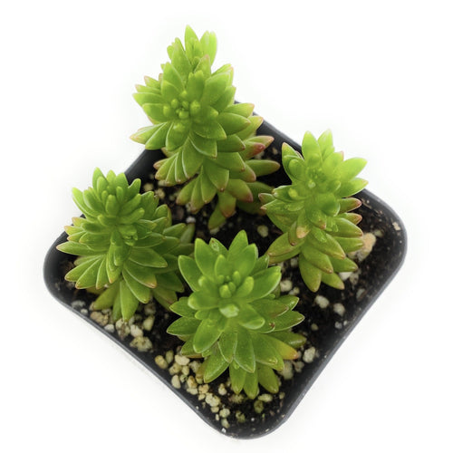 Sedum Rupestre 'Angelina' - for sale by Succy Crafts