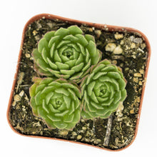 Load image into Gallery viewer, Turkish Hens and Chicks - for sale by Succy Crafts