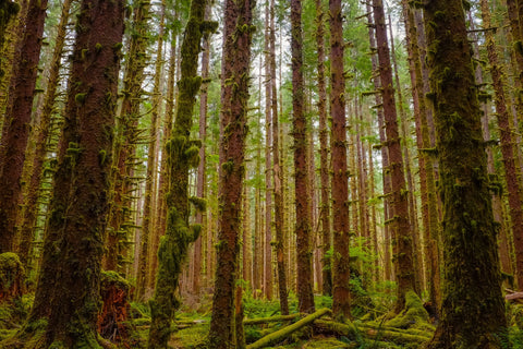 Mossy trees in forest Olympic National Park Port Angeles Washington. Photo by Yux Xiang