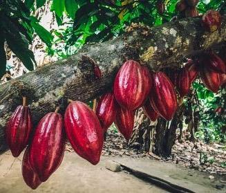 Cacao Stewardship = Earth Stewardship 🌎