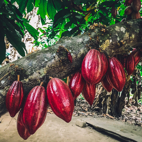 Cacao Tree Decolonize Cultural Appropriation Ceremony