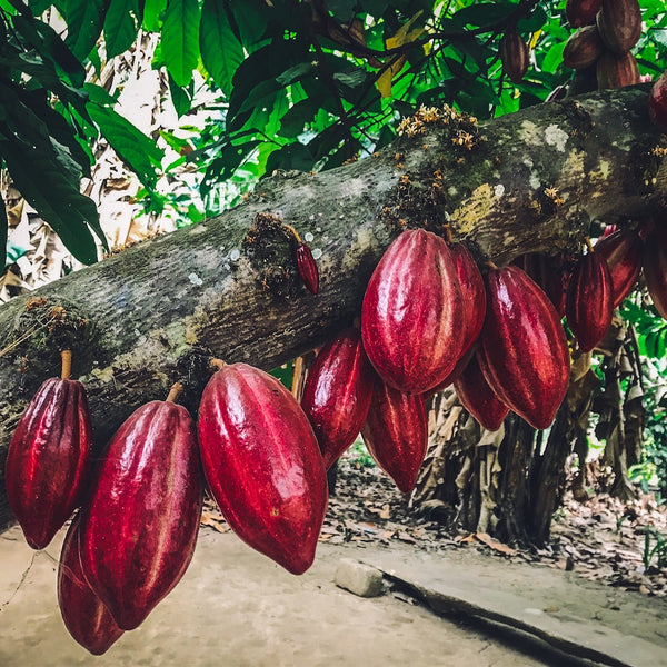 Ceremonial-Cacao-Farming-2