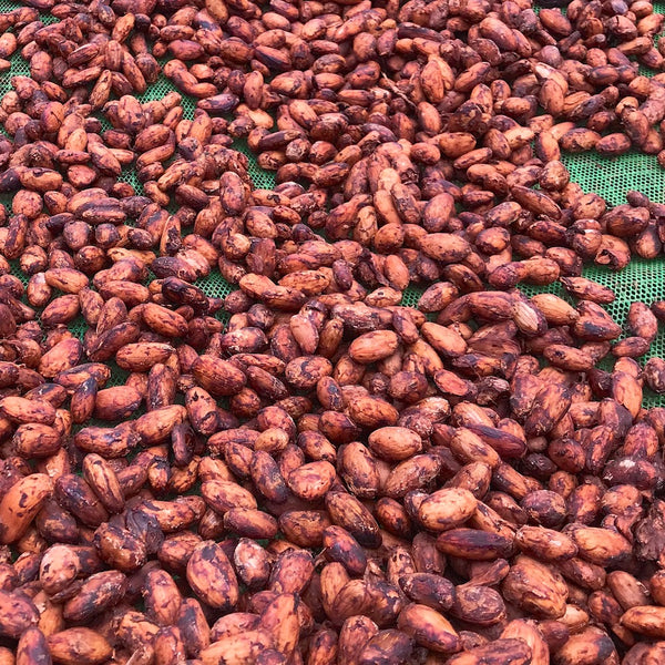 Small-Holder-Farm-Community-Cacao-Drying-2