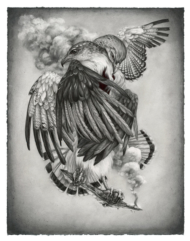 Christina Mrozik - Grey Backed Hawk