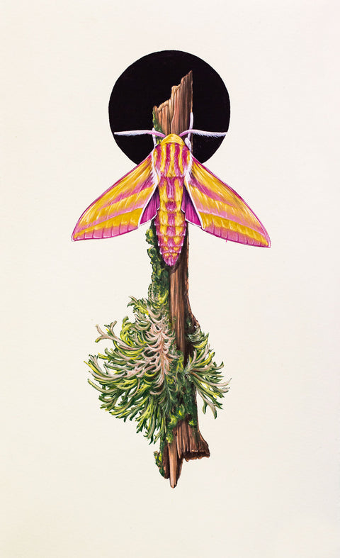 Thomas Jackson - 'Elephant Hawk Moth' - West Country, England