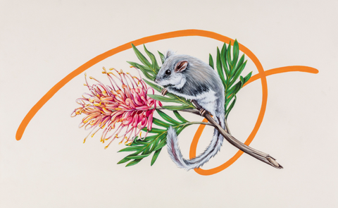 Thomas Jackson - 'Feather Tailed Glider and Grevillea'