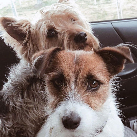 Two small dogs in a car (a Jack Russell and a Yorkshire Terrier)