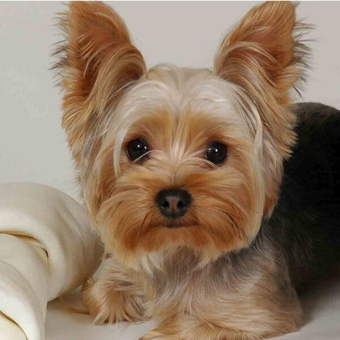 Image of Diamond Painting - Chien Yorkshire Terrier - Styles Flottants - Broderie Diamant - Peindre avec un diamant