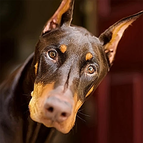 Immagine di Diamond Painting - Doberman Pinscher - Stili fluttuanti - Ricamo a diamante - Dipingi con diamante