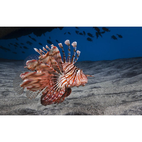 Image of Diamond Painting - Lion Fish - Floating Styles - Diamond Embroidery - Paint With Diamond