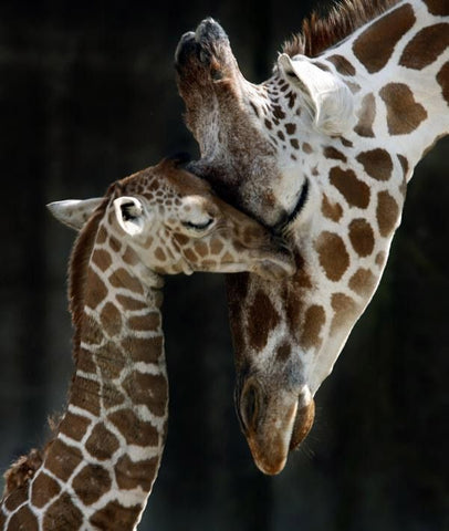 Image of Diamond Painting - Mother and Baby Giraffe - Floating Styles - Diamond Embroidery - Paint With Diamond