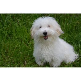 Diamond Painting - Coton de Tulear - 2