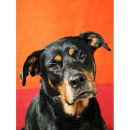 Diamond Painting - Rottweiler - Floating Styles - Diamond Embroidery - Paint With Diamond