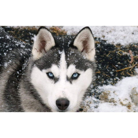 Diamond Painting - Husky in Snow - Floating Style - Diamond Haft - Paint With Diamond