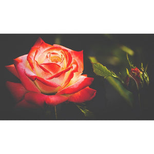 Diamond Painting - Rose Floribunda Blossom