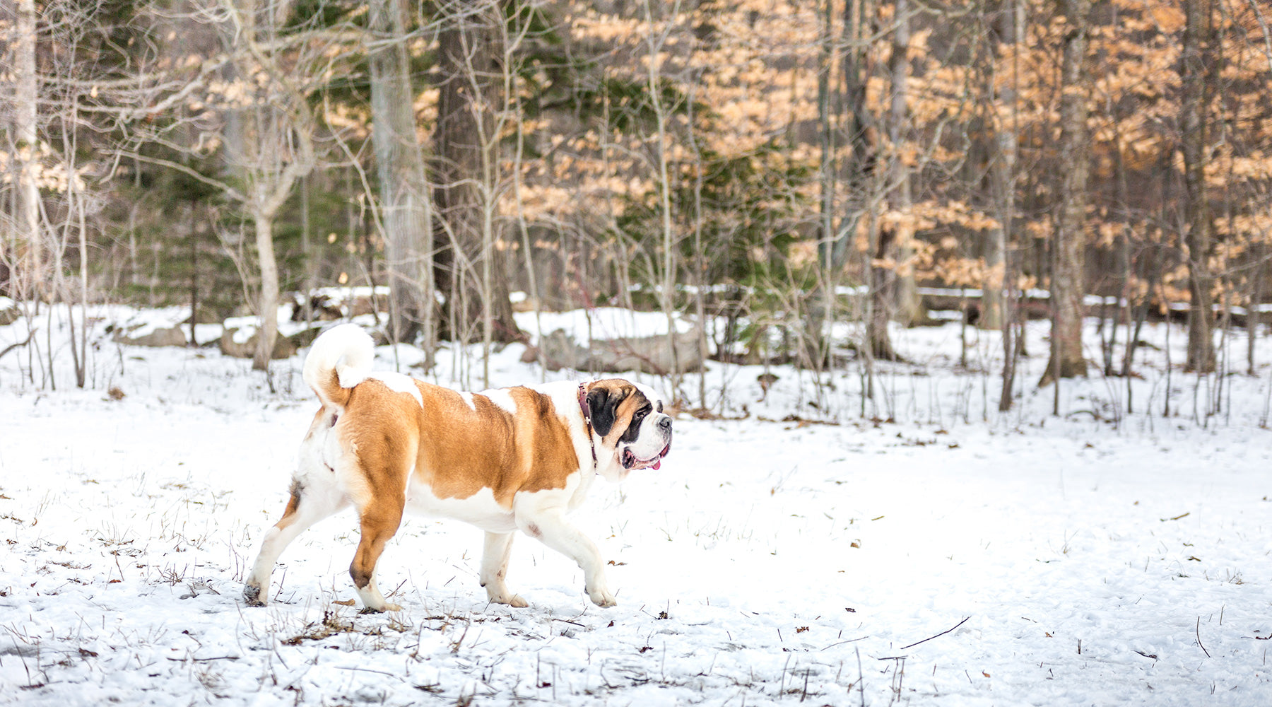 Saint Bernard Mugs + Drinkware