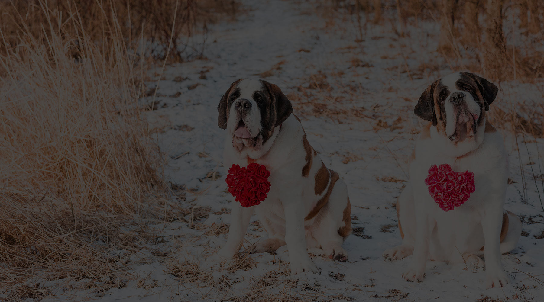 About Saint Bernards Lucy and Norman