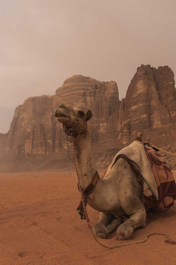 Camel at Wadi Rum