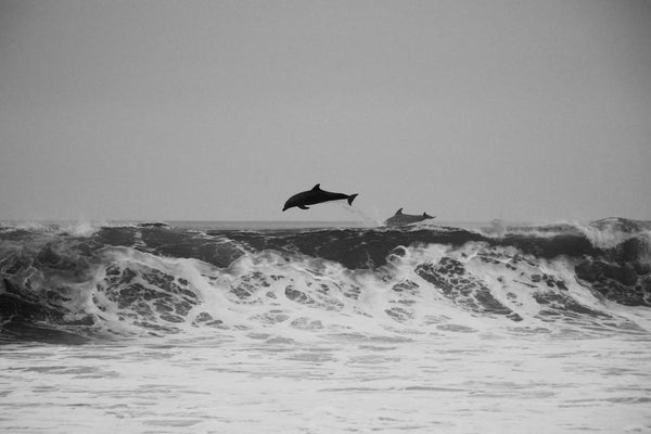 black and white image of dolphins jumping in the ocean
