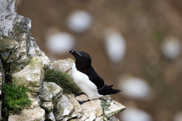 black and white bird on a cliff