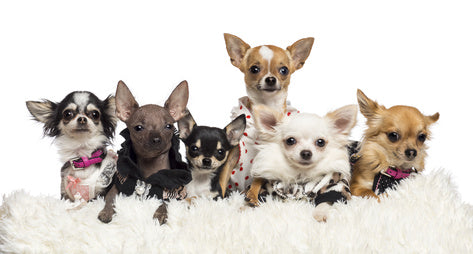 sirwoofwoof chihuahua types