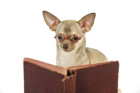 funny reading chihuahua sirwoofwoof