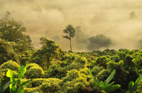Canopy view of a misty rainforest. World Land Trust saves the rainforest, conserves wildlife and protects woodland.