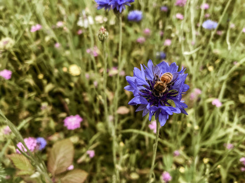 "<br /> <p><span style=""font-weight: 400;"">bee on wildflower, cornflower, protect the bees, why are bees endangered, ethical company uk, sustainable brands, seed bombs, wildflower seeds</span></p>"