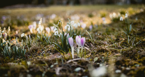 Spring is here, and we are making sustainable changes to our ethical fashion company. a picture of crocuses and snowdrops in the frost.